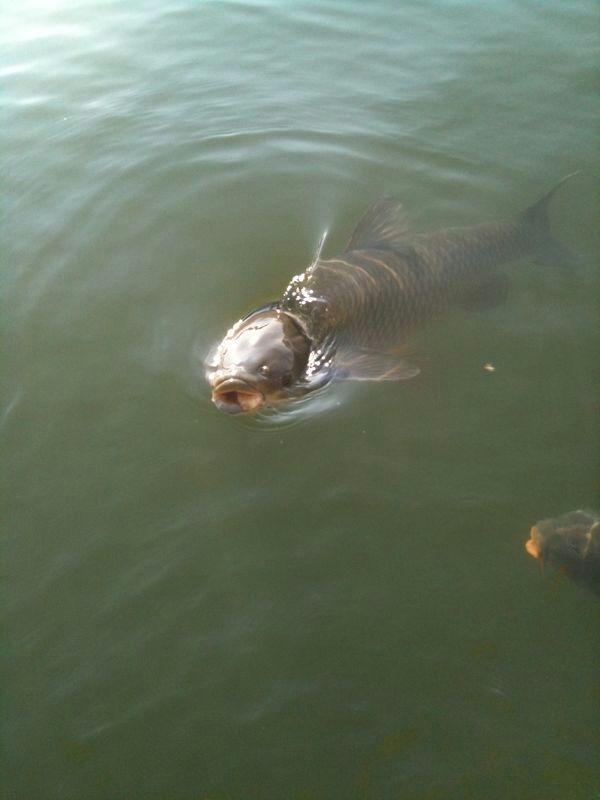 Graskarpfen k der eine gute auswahl an for Was fressen fische im teich