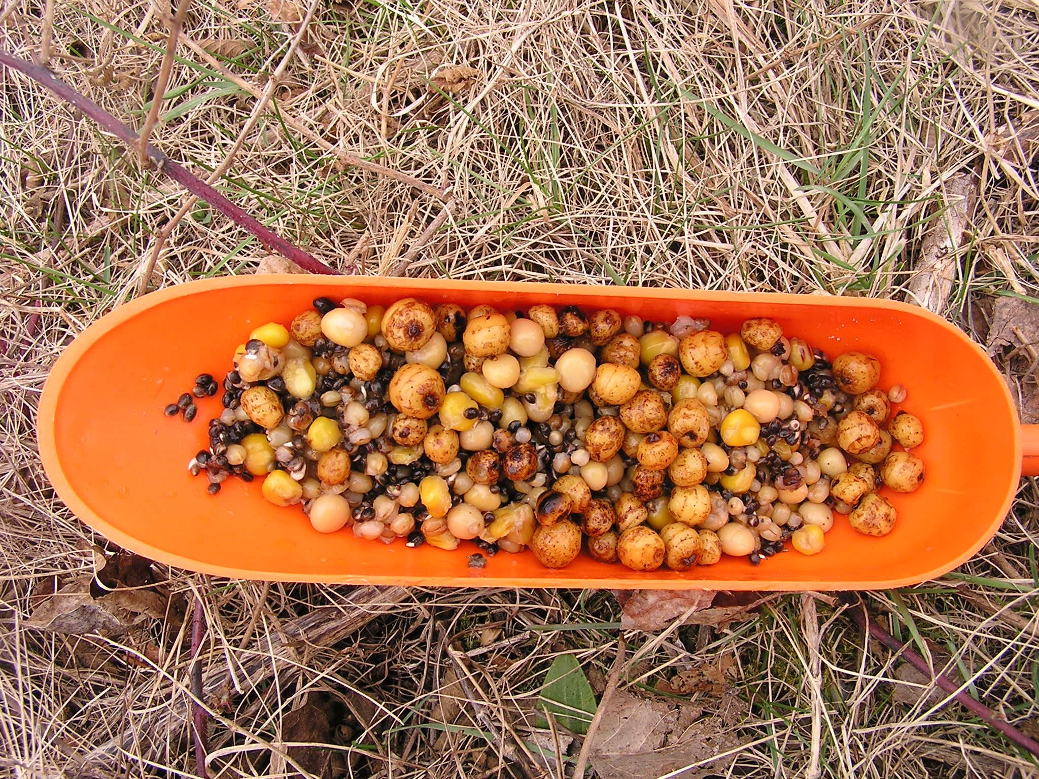 Partikelmix aus Tigernüssen und Hanf für Karpfen im Frühjahr